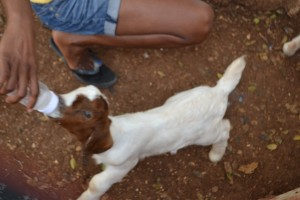 Life in Jamaica: Feeding baby goats at Button Bay Getaway, Treasure Beach, Jamaica