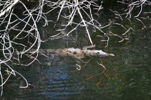 Life in Jamaica: Crocodile Tom on the Black River Safari